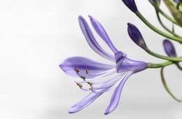agapanthus bloemen huis wonen prints kleur bloemenprint